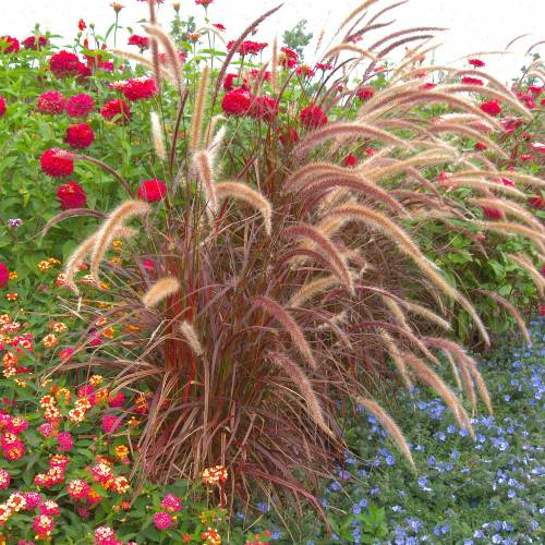 Chinese fountain grass 'Fireworks'