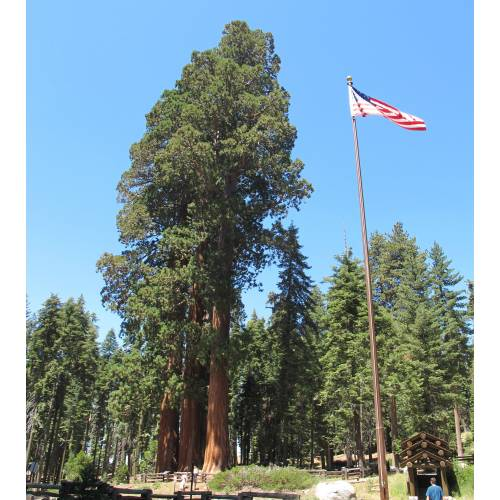Sequoia, giant