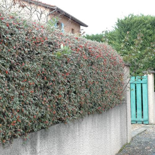 Cotoneaster, Franchetii