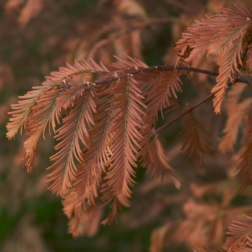 Dawn Redwood