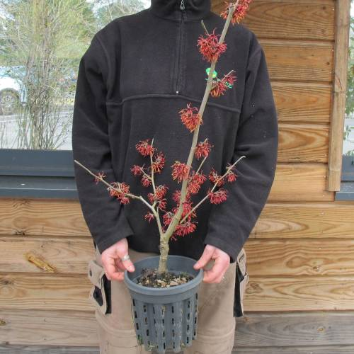 Japanese Witch Hazel 'Diane'