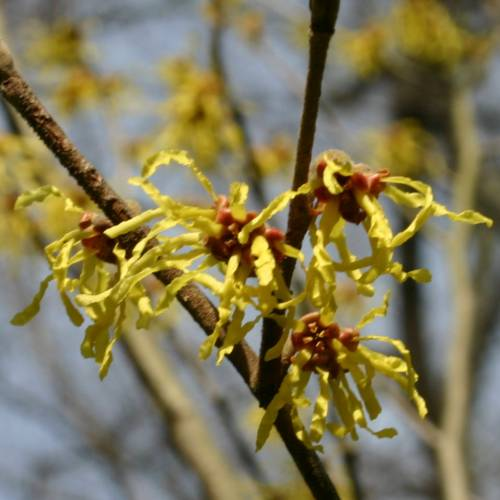 Japanese Witch Hazel 'Arnold Promise'