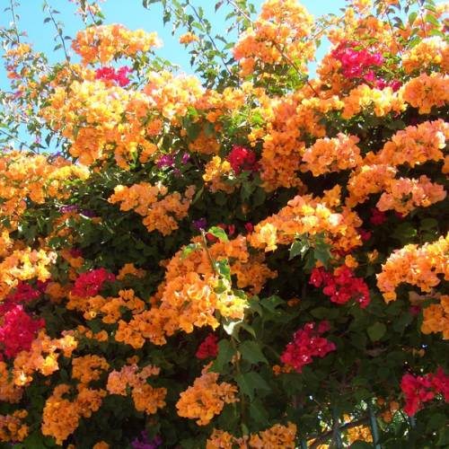 Bougainvillea, Orange