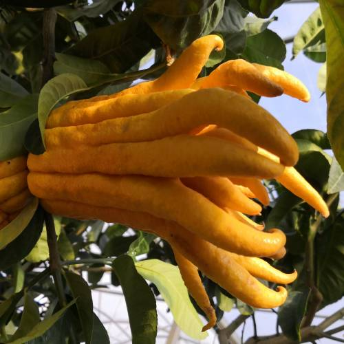 Buddha's hand, Fingered Citron