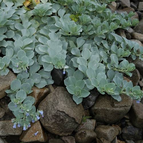 Oyster plant, Oyster leaf