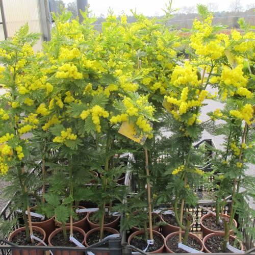Mimosa Gaulois Astier Buy Mimosa Gaulois Astier Acacia