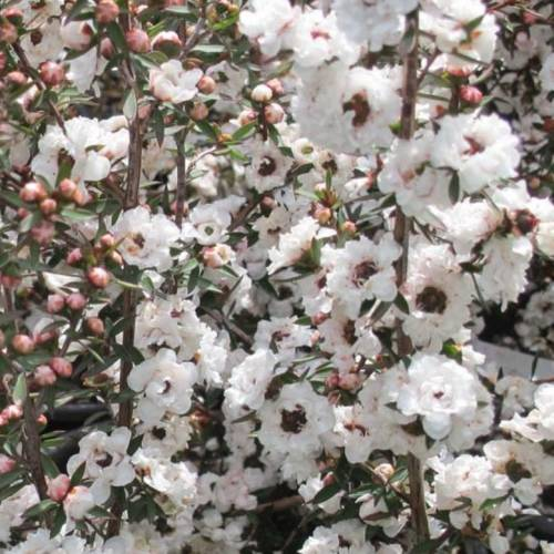 Tea tree, New Zealand, Manuka, White