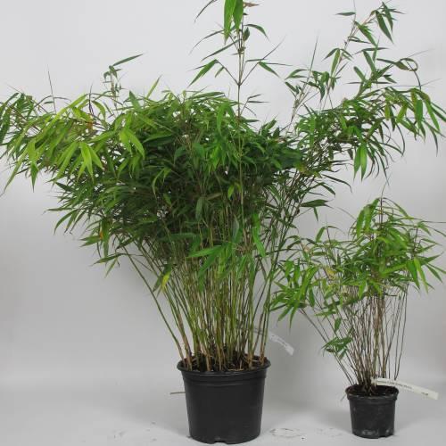 Bamboo Fargesia Rufa : buy Bamboo Fargesia Rufa / Fargesia rufa