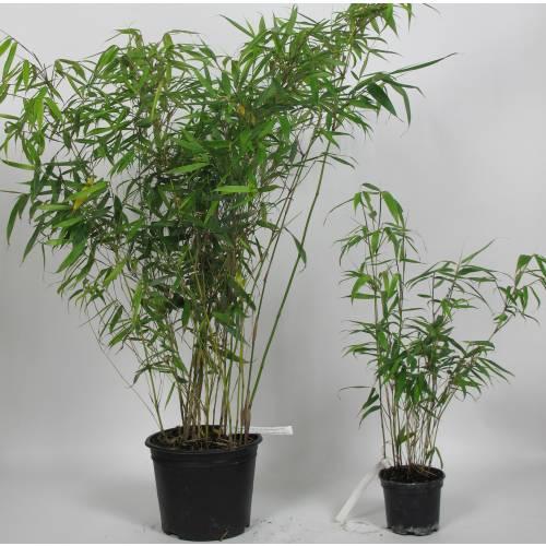 Bamboo Fargesia robusta \'Pingwu\' : buy Bamboo Fargesia robusta ...