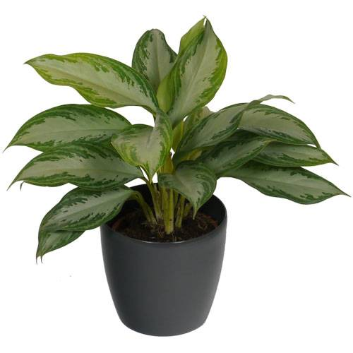 Chinese Evergreen Silver Bay + Cachepot Anthracite