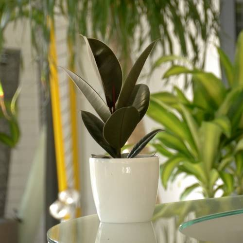 Rubber Plant + White Cachepot