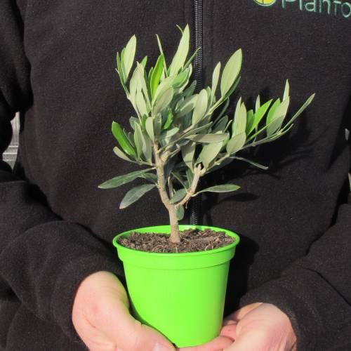 Baby Olive Tree for a wedding