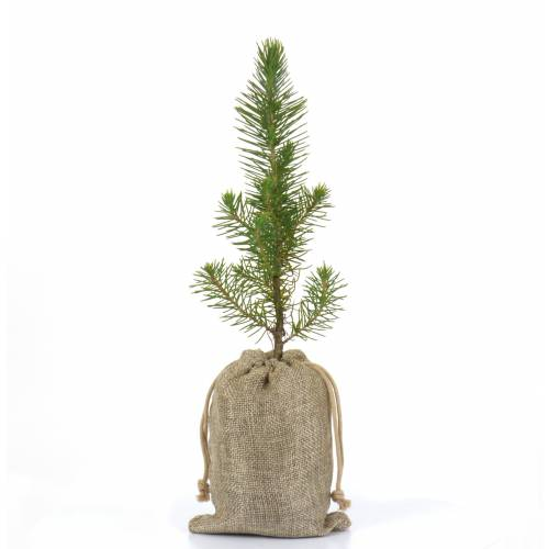 Baby Pine Tree for a wedding