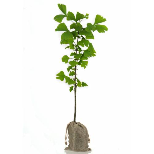 Baby Ginkgo Tree for a birth or a christening