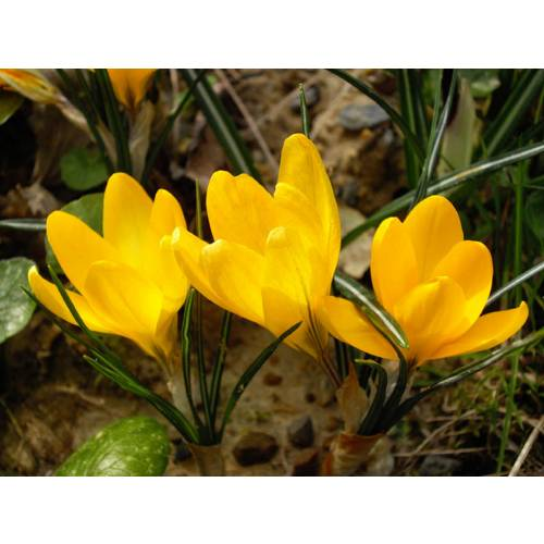 Crocus, yellow flower