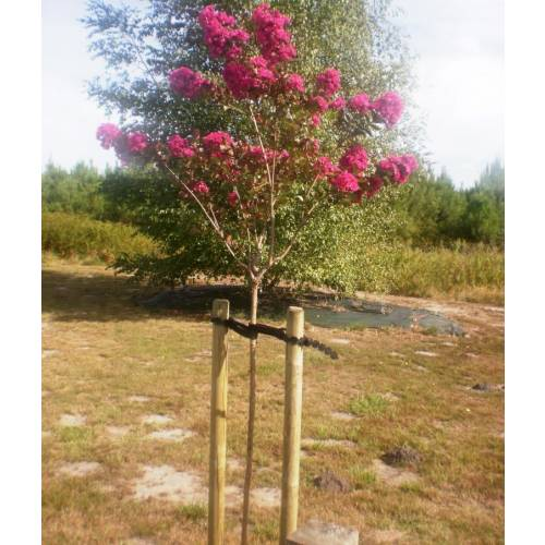 Pine stake  Height 250 cm