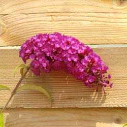 Buddleia davidii Royal