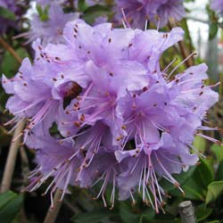 Rhododendron Penheale Blue