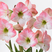 amaryllis -apple blossom