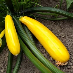 courgette gold rush hybride f1