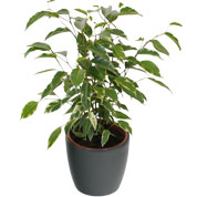 ficus golden king - cache pot anthracite