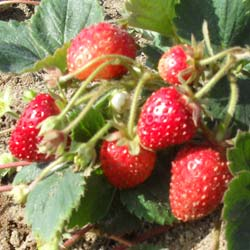 fragaria vesca mount everest