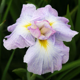 iris ensata -lady in waiting