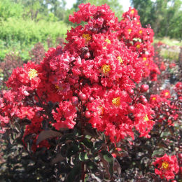 lagerstroemia black solitaire -crimson red