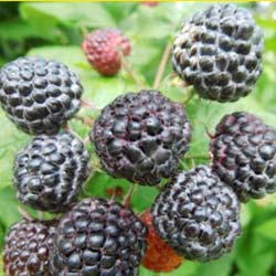 rubus occidentalis black jewel