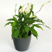 spathiphyllum - cache pot anthracite