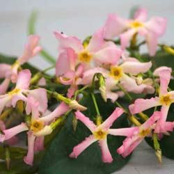 trachelospermum asiaticum pink showers
